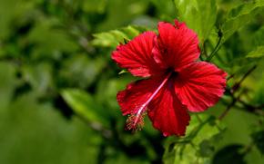 Гибискус, Hibiscus, цветы, цветок, флора