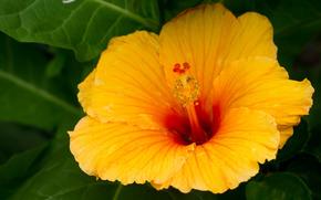 poślubnik, Poślubnik, Kwiaty, kwiat, flora