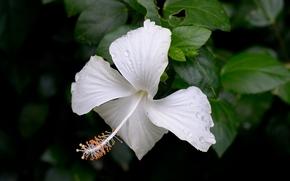 ibisco, Ibisco, Fiori, fiore, flora