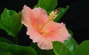 hibiscus, Hibiscus, Fleurs, fleur, flore
