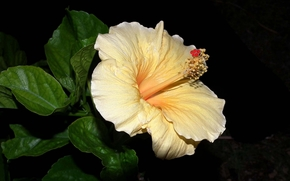 hibisco, Hibisco, Flores, flor, flora
