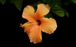 槿, 槿, 花卉, 花, 植物群