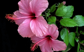 hibiscus, Hibiscus, Flowers, flower, flora