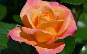 玫瑰, 玫瑰, 花卉, 植物群