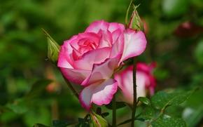 rosa, Roses, Fiori, flora