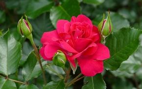 rose, Roses, Fleurs, flore