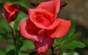 rosa, Roses, Flores, flora