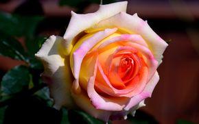 rosa, Rosas, Flores, flora