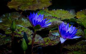 water lily, Water Lilies, Flowers, flora