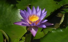водяная лилия, водяные лилии, цветы, флора