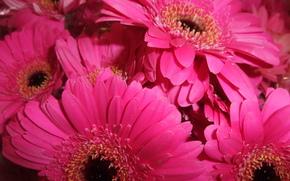 fiore, Fiori, flora, gerbera
