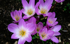 flor, Flores, flora, Azafranes