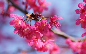 flower, Flowers, flora, cherry blossoms