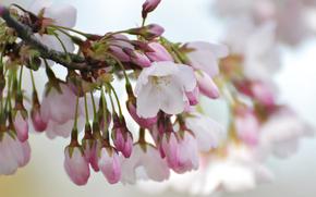 fiore, Fiori, flora, fiori di ciliegio