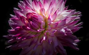 fiore, Fiori, flora, dalia