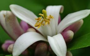 kwiat, Kwiaty, flora, lilia