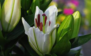 цветок, цветы, флора, лилии