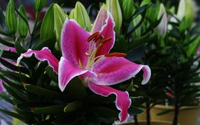 fiore, Fiori, flora, Gigli