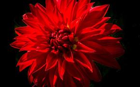 цветок, цветы, флора, георгин