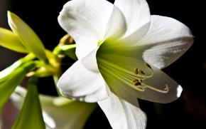 fiore, Fiori, flora, Giglio