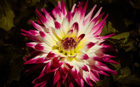 fleur, Fleurs, flore, dahlia