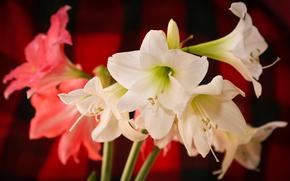 fleur, Fleurs, flore, Lilies