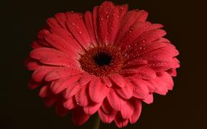 花, 花卉, 植物群, 非洲菊