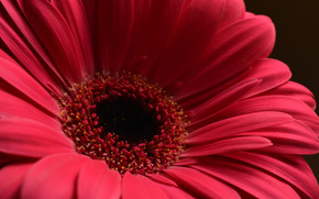 fleur, Fleurs, flore, gerberas