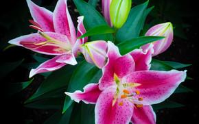 花, 花卉, 植物群, 百合