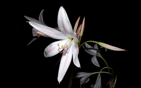 цветок, цветы, флора, лилия