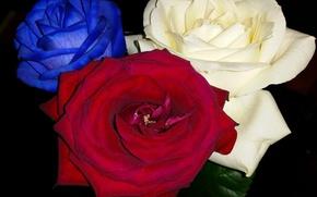 kwiat, Kwiaty, flora, róża, Roses