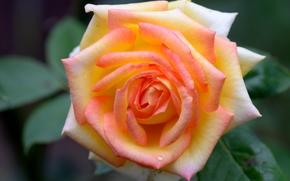 花, 花卉, 植物群, 玫瑰, 玫瑰