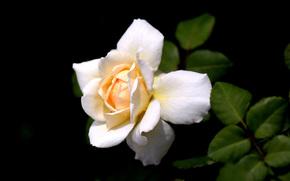 flor, Flores, flora, rosa, Roses