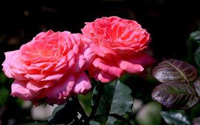 цветок, цветы, флора, роза, розы