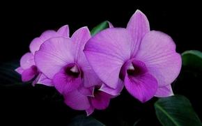 flor, Flores, flora, orquídea