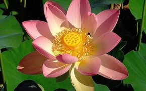 lotus, flower, Flowers, flora