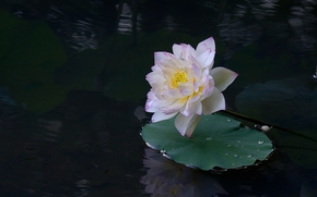 lotus, fleur, Fleurs, flore