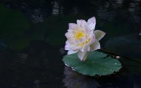 loto, fiore, Fiori, flora