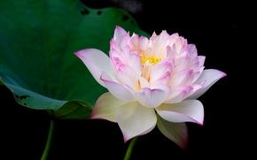 lotos, kwiat, Kwiaty, flora