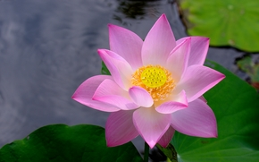 loto, flor, Flores, flora