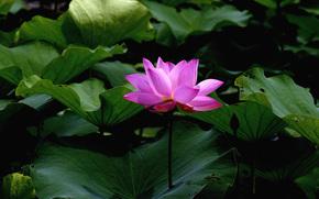 лотус, цветок, цветы, флора