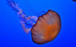 meduza, Meduza, Podwodny świat, woda, morze, ocean, mieszkańcy mórz i oceanów