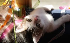kitten, Tape, plays, to the upper legs
