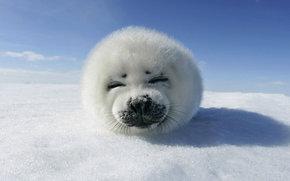 animal, snow, ice, sky, seal