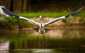 stork, Lake, fish
