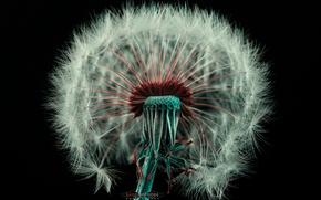 花, タンポポ, 白, ダウン