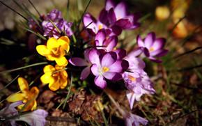 fiori, primula, Crocuses