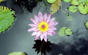 цветок, вода, лилия, озеро