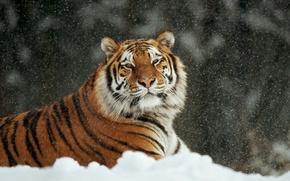 tiger, cat, snow, winter, Arrr, lies