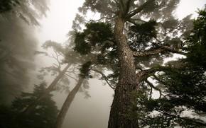 albero, nebbia, pino